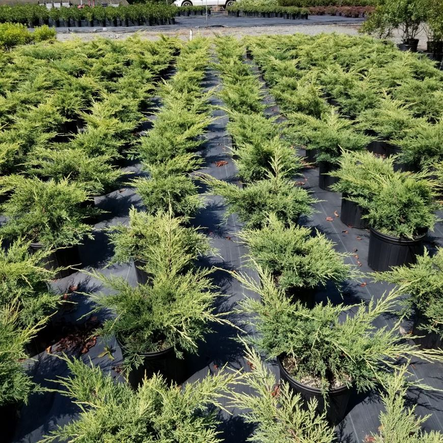 Gilmore Plant And Bulb Juniperus Chinensis Gold Lace Pp 8202