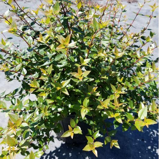 Picture of Abelia x grandiflora 'Little Richard'