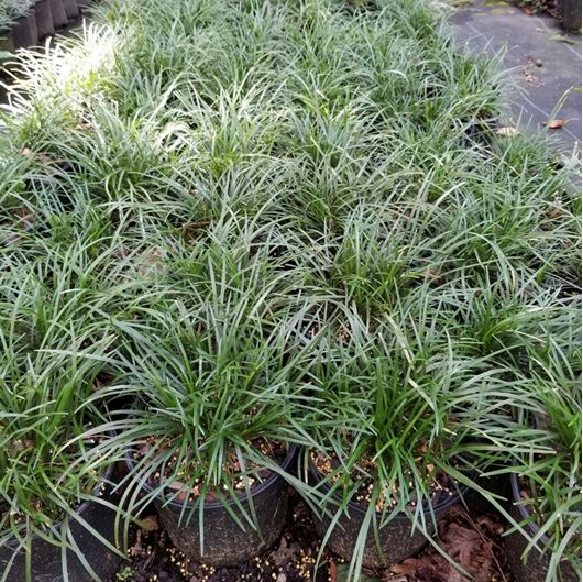Picture of Ophiopogon japonicus